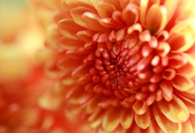 Close-up macro geeloranje mooie zoete bloem Premium Foto
