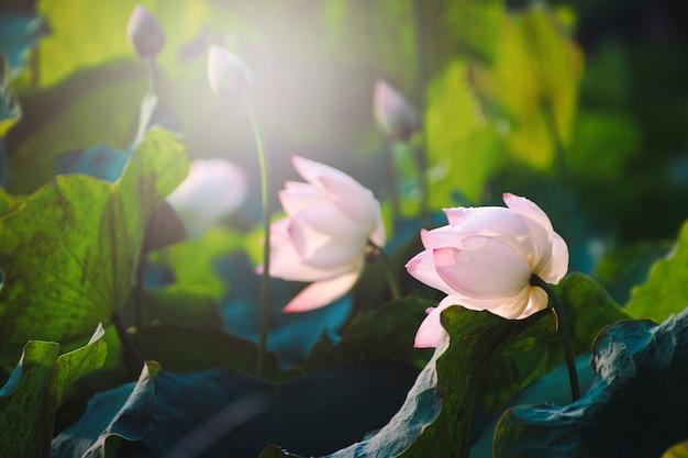 Close-up mooie roze lotusbloembloem in vijver. Premium Foto