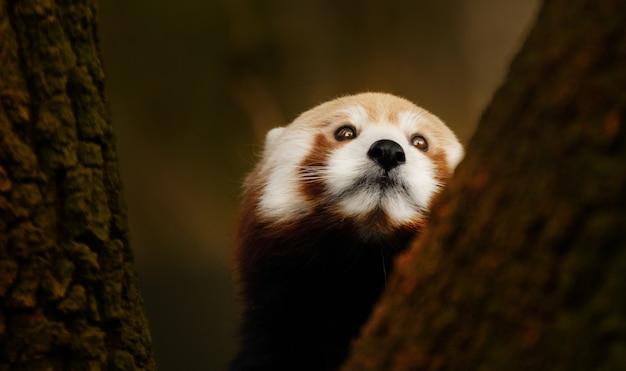 Close-up rode panda die een boom beklimt Gratis Foto