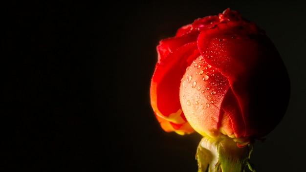 Close-up rode roos met waterdruppels Gratis Foto
