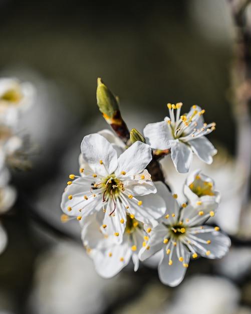 Close-up selectieve aandacht weergave van een geweldige kersenbloesem onder sunlights Gratis Foto