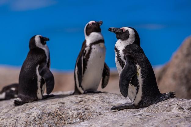 Close-up selectieve focus shot van schattige pinguïns opknoping in kaap de goede hoop, kaapstad Gratis Foto