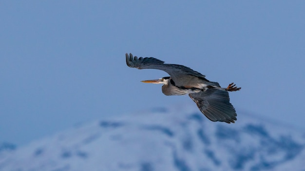 Close-up shot van blauwe reiger vliegt over great salt lake in utah Gratis Foto