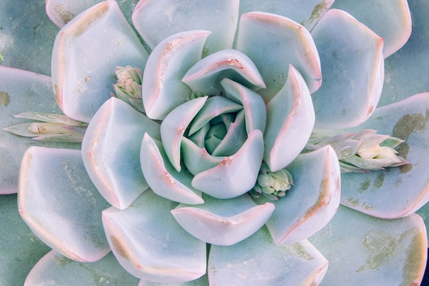 Close-up shot van de lichtblauw gekleurde echeveria elegants Gratis Foto