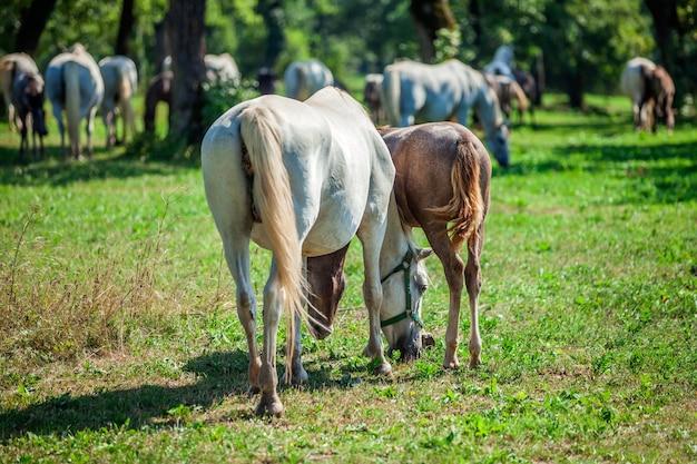 Close-up shot van de paarden grazen in het lipica, nationaal park in slovenië Gratis Foto