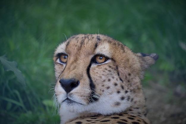Close-up shot van de snuit van een cheetah met wazig Gratis Foto