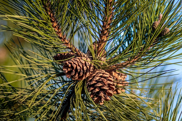 Close-up shot van dennenappels opknoping op de boom Gratis Foto