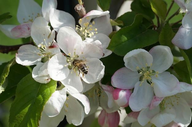 Close-up shot van een bij op een witte bloem overdag Gratis Foto