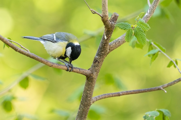 Close-up shot van een black-capped chickadee op de boomtak met groen Gratis Foto