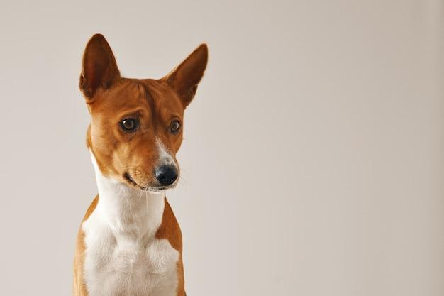 Close-up shot van een doordachte gerichte basenji hond geïsoleerd op wit Gratis Foto