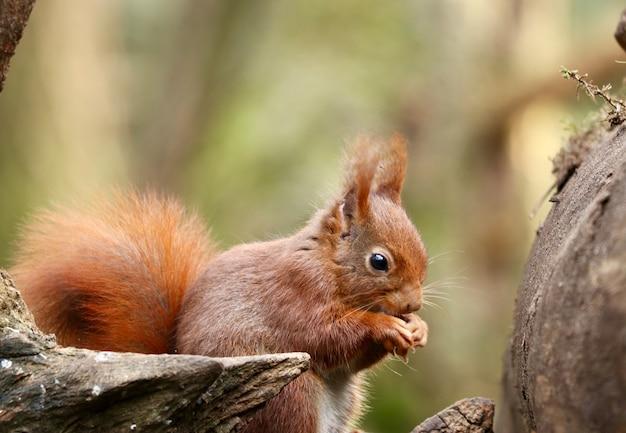 Close-up shot van een eekhoorn hazelnoot eten op een onscherpe achtergrond Gratis Foto