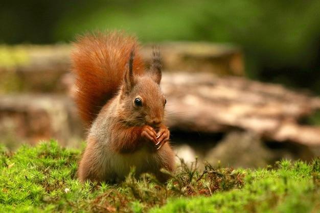 Close-up shot van een eekhoorn hazelnoot eten Gratis Foto