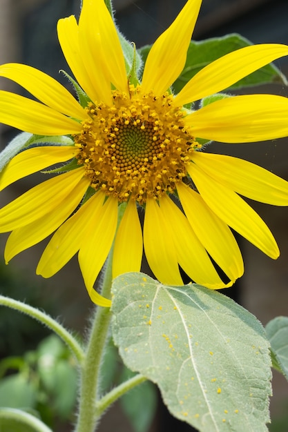 Close-up shot van een felgele zonnebloem Gratis Foto