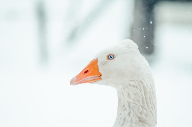 Close-up shot van een gans in een veld tijdens een sneeuwval Gratis Foto