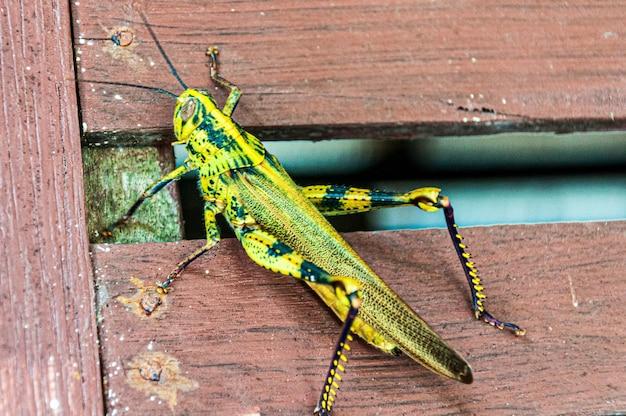 Close-up shot van een gele sprinkhaan op een houten hek Gratis Foto