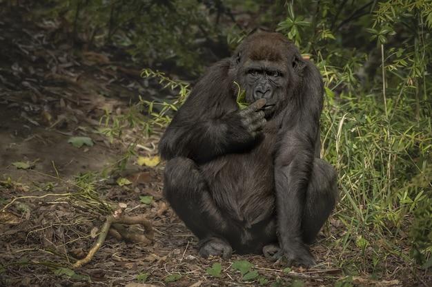 Close-up shot van een gorilla zijn vinger snuiven zittend met een onscherpe achtergrond Gratis Foto