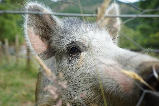 Close-up shot van een grijs varken in een boerderij met draadomheiningen op een koele dag Gratis Foto