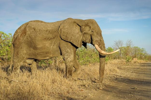 Close-up shot van een grote olifant in de safari onder een blauwe hemel Gratis Foto