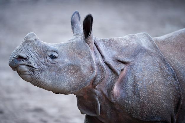 Close-up shot van een indiase neushoorn met een onscherpe achtergrond Gratis Foto