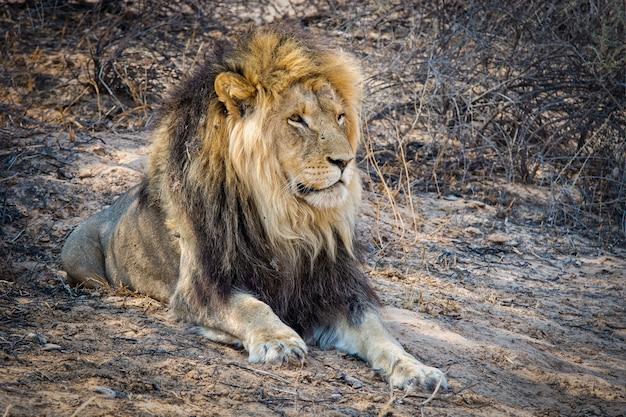Close-up shot van een krachtige leeuw tot op de grond Gratis Foto