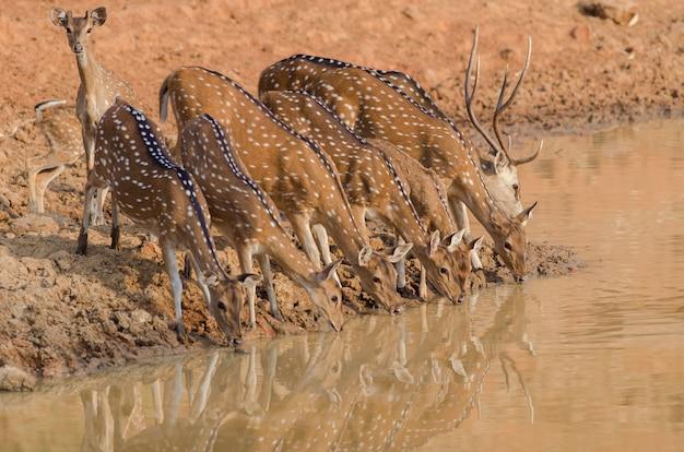 Close-up shot van een kudde prachtige herten drinkwater uit het meer Gratis Foto
