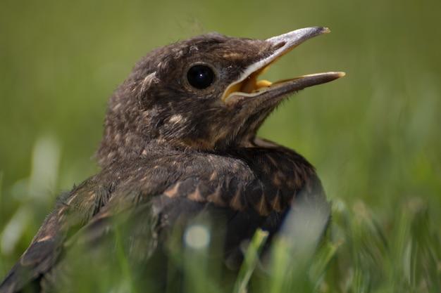 Close-up shot van een merel in het gras met een onscherpe achtergrond Gratis Foto