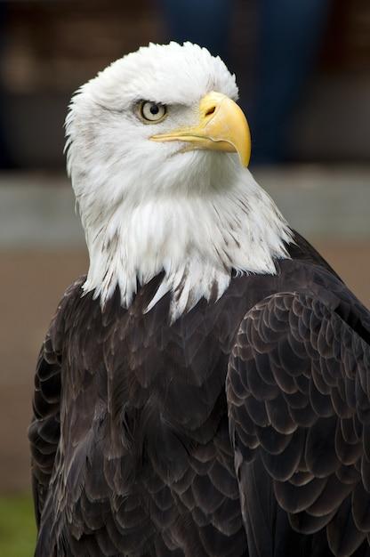 Close-up shot van een mooie amerikaanse zeearend met een onscherpe achtergrond Gratis Foto