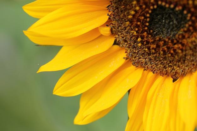 Close-up shot van een mooie gele zonnebloem op een onscherpe achtergrond Gratis Foto