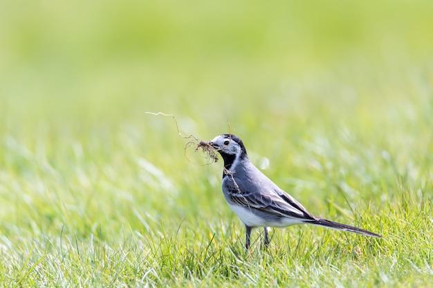 Close-up shot van een mooie kleine vogel staande op het groene gras met een tak in de bek Gratis Foto