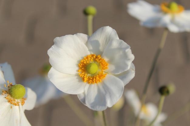 Close-up shot van een mooie oogst anemoon bloem Gratis Foto