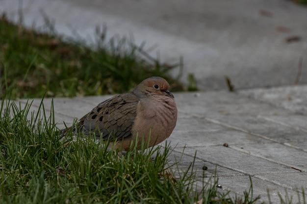 Close-up shot van een mooie rouw duif rustend op een betonnen ondergrond Gratis Foto