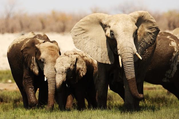 Close-up shot van een olifant familie wandelen over de met gras begroeide savanne vlakte Gratis Foto