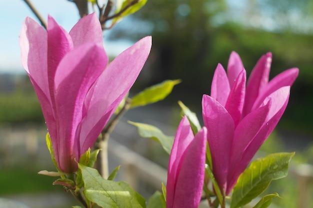 Close-up shot van een paarse chinese magnolia op een zonnige dag met een onscherpe achtergrond Gratis Foto