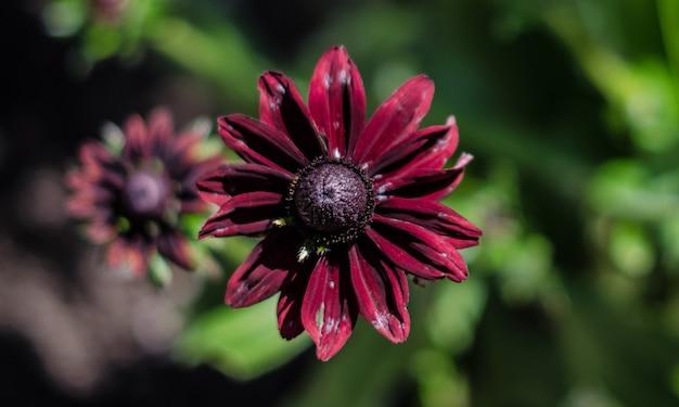 Close-up shot van een prachtige paars-petaled zwartogige susan bloem Gratis Foto
