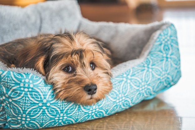 Close-up shot van een schattig schattig verdrietig ogende binnenlandse shih-poo type hond binnenshuis Gratis Foto