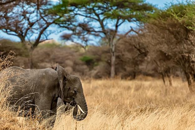 Close-up shot van een schattige olifant lopen op het droge gras in de wildernis Gratis Foto