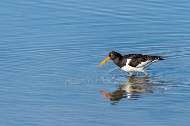 Close-up shot van een scholekster vogel in het blauwe water Gratis Foto