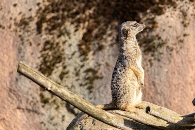 Close-up shot van een waakzame meerkat staande op een rots Gratis Foto