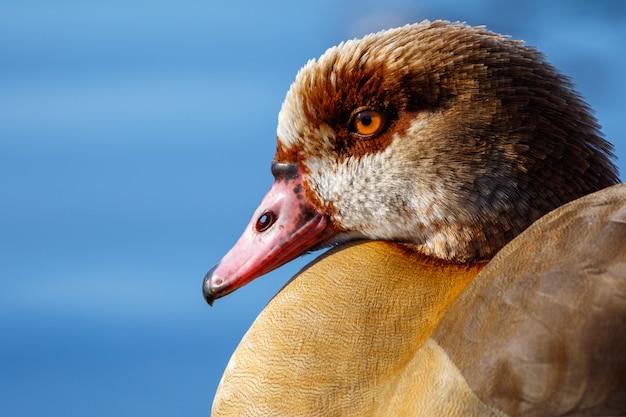 Close-up shot van een wilde eend Gratis Foto