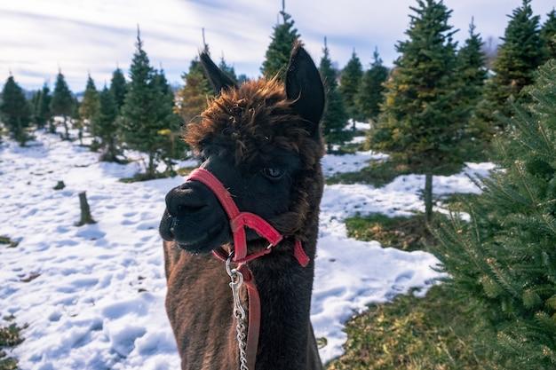 Close-up shot van een zwarte alpaca naast een nette boom in de winter Gratis Foto
