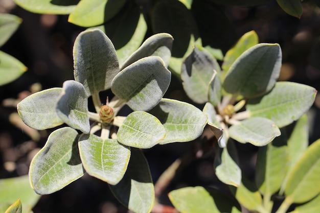 Close-up shot van groene rhododendron bladeren op een onscherpe achtergrond Gratis Foto
