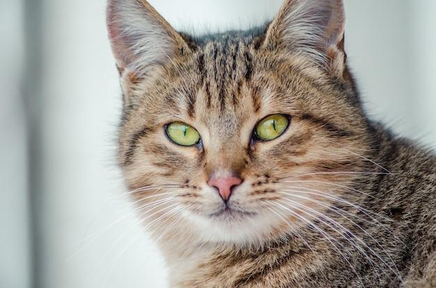 Close-up shot van het gezicht van een mooie kat met groene ogen Gratis Foto