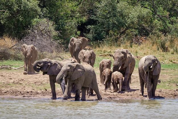 Close-up shot van olifanten die het meer met bomen naderen Gratis Foto