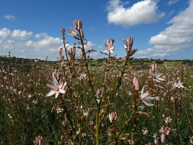 Close-up shot van prachtige branched asphodel-planten in maltese eilanden, malta Gratis Foto