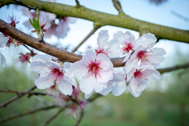 Close-up shot van prachtige kersenbloesems Gratis Foto
