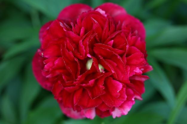 Close-up shot van rode dahlia met onscherpe achtergrond Gratis Foto
