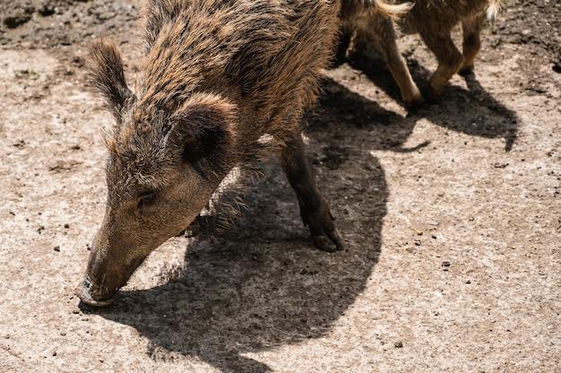 Close-up shot van wilde zwijnen voeden op de grond in een dierentuin op een zonnige dag Gratis Foto