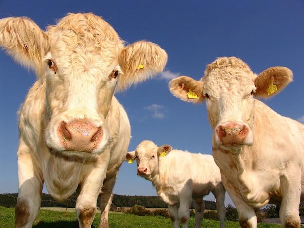 Close-up shot van witte koeien grazen in de velden Gratis Foto