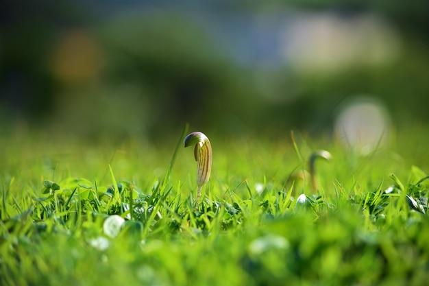 Close-up van arisarum vulgare groeit op de grond bedekt met groen onder het zonlicht in malta Gratis Foto