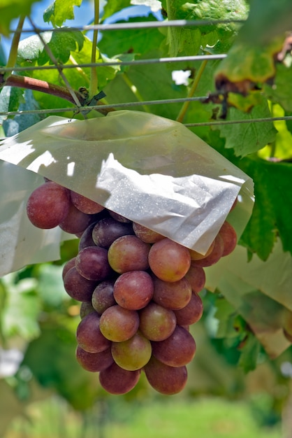 Close-up van bos van tafeldruiven op wijnstok Premium Foto